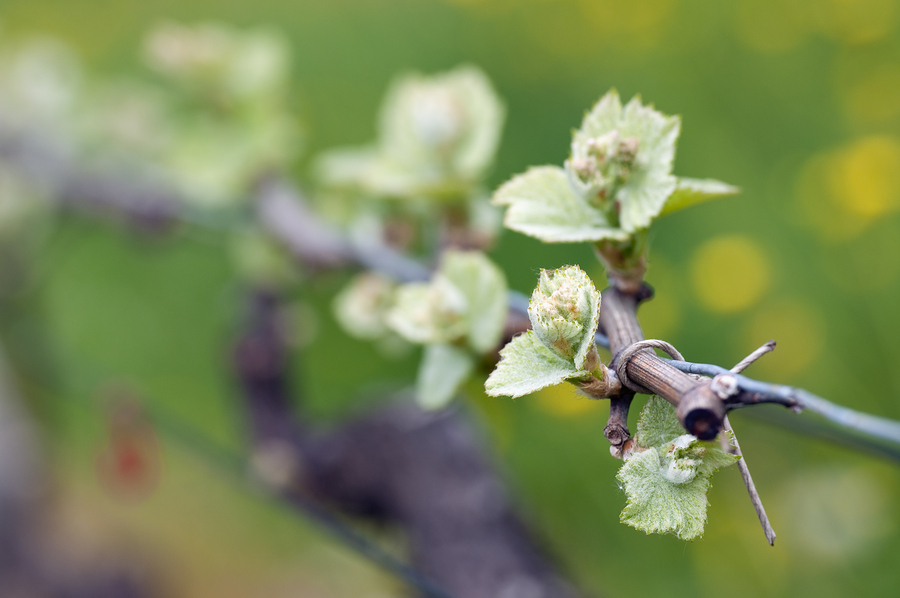 Bud Burst at Unsworth Vineyards