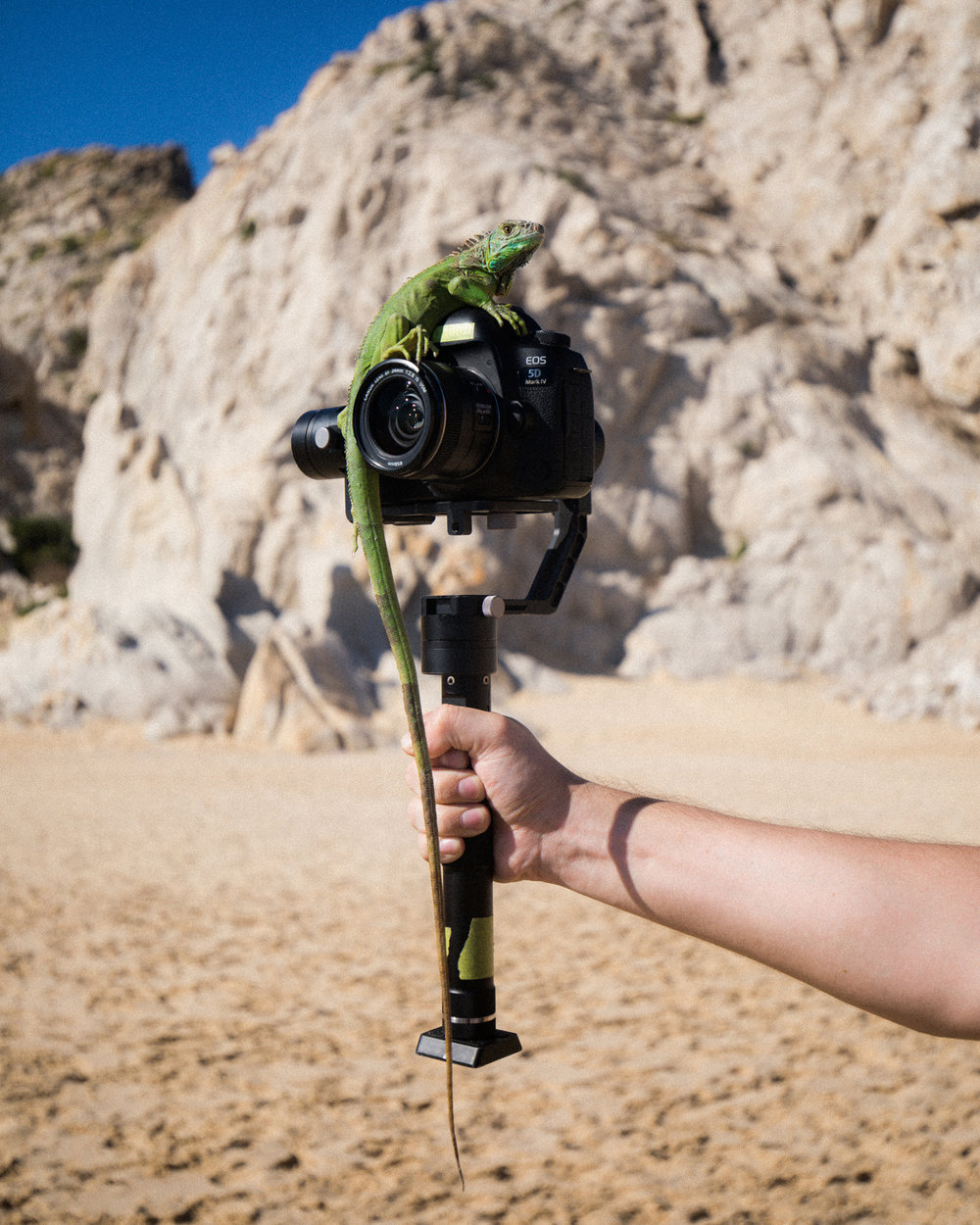 A lizard seeing how steady the Zhiyun Crane is at Lovers Beach in Cabo San Lucas. Photo by: Y.O. Photography