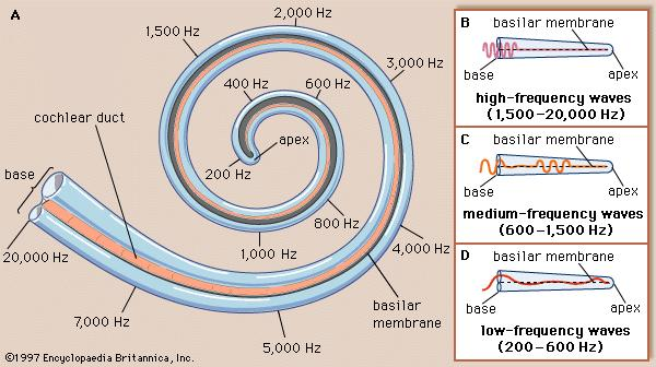 Depending on the Hz of the sound, it will communicate with the apex or base of the cochlea.
