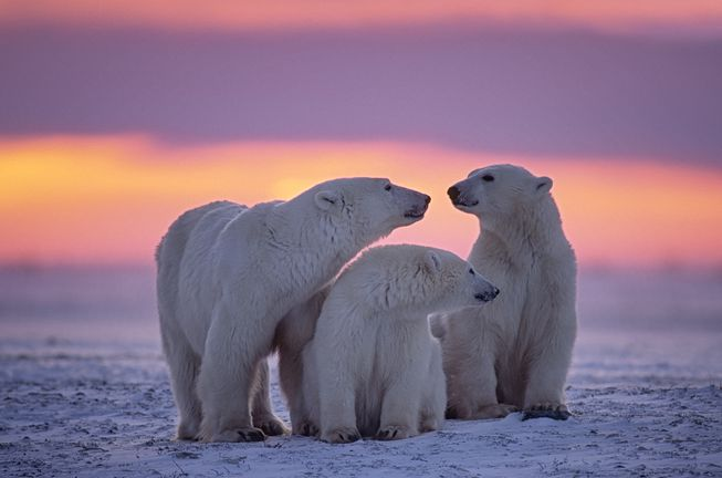 polar-bear-family-sunset.jpg.653x0_q80_crop-smart.jpg