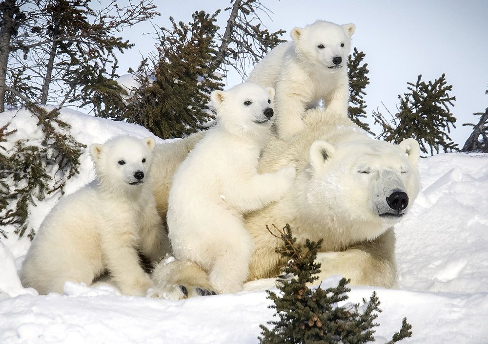 0_CATERS_David_Jenkins_Polar_Bear_Pics_05.jpg