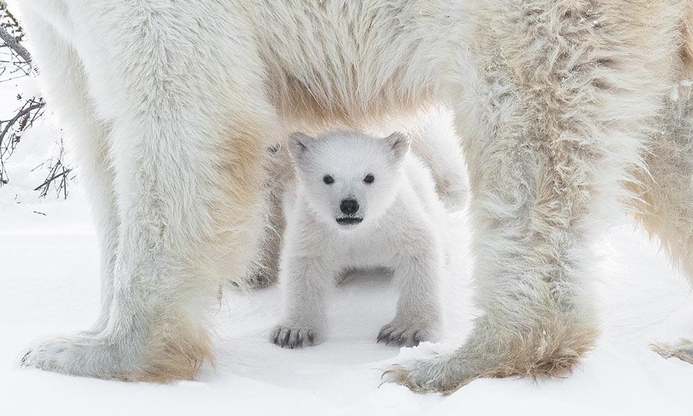 img-polar-bear-cub-thank-you-1000.jpg