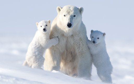 Facts-about-polar-bears-5.jpg