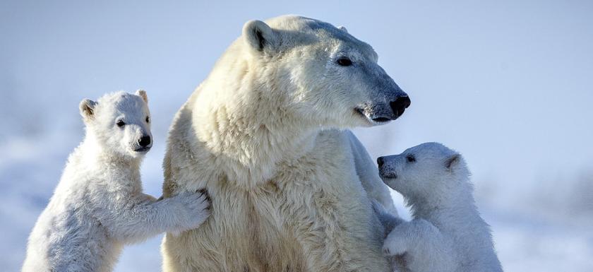 1200-550-polar-bear-family.jpg