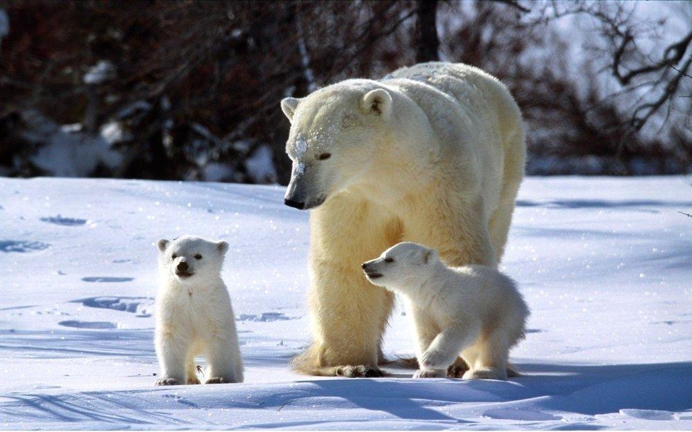 1082167-baby-polar-bear-wallpaper-1920x1200-for-phones.jpg