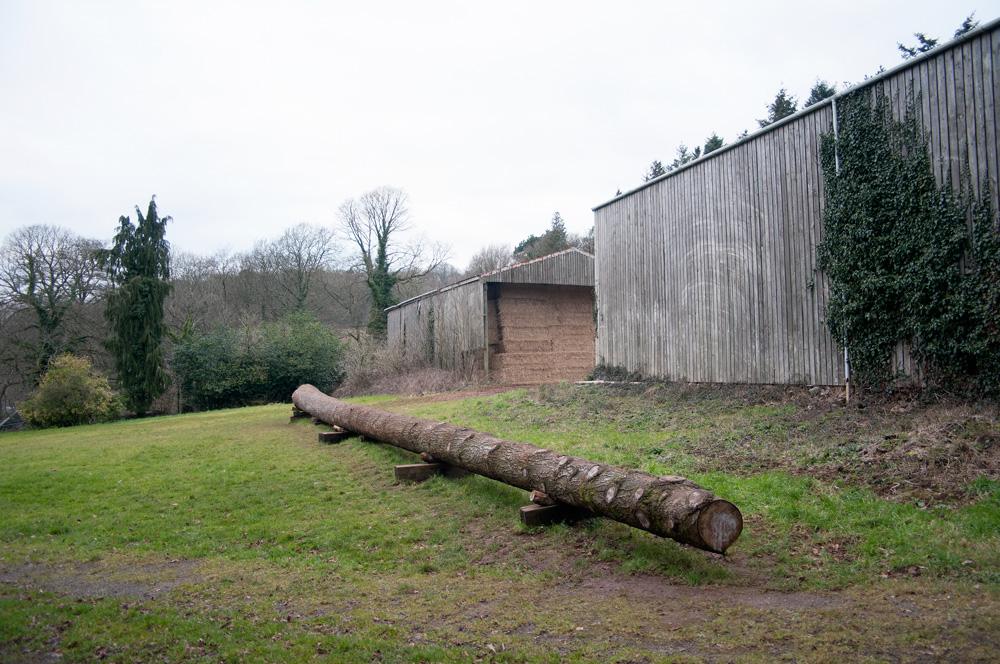 Pine Tree, Tyntesfield, Bristol