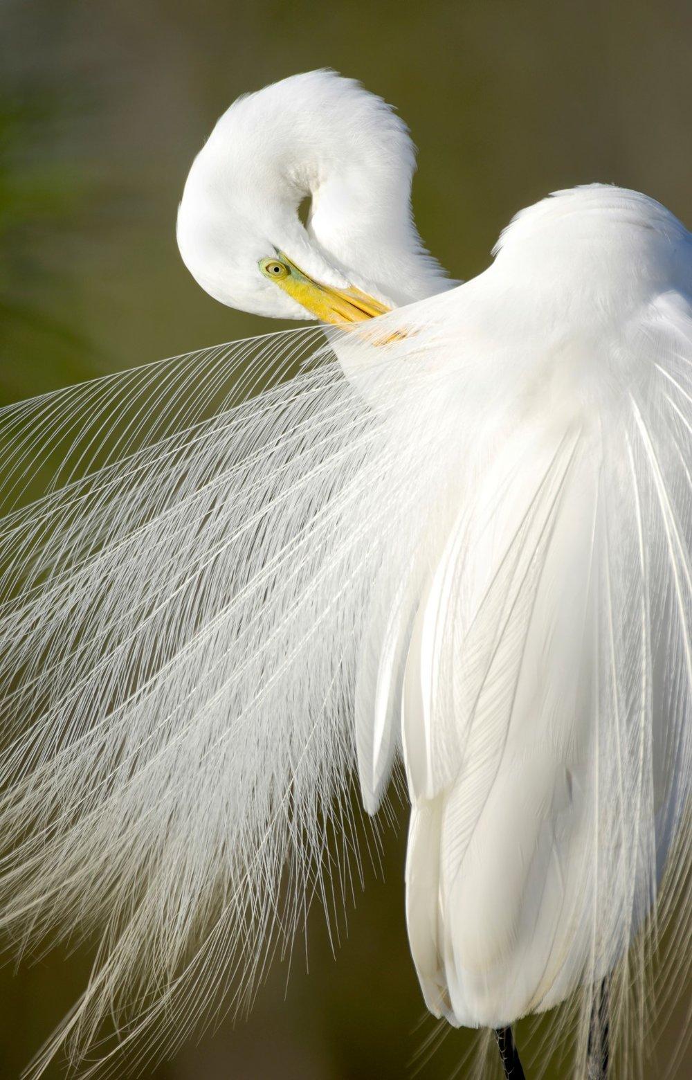 Carlton Ward,  Everglades Egret , 24 x 36 inches.