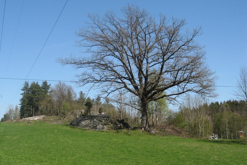 Store trær er viktige kulturlandskapselementer