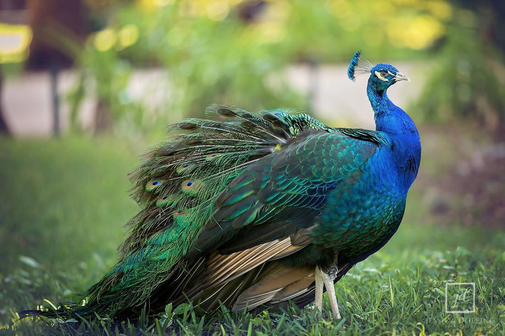 Mayfield_park_peacock