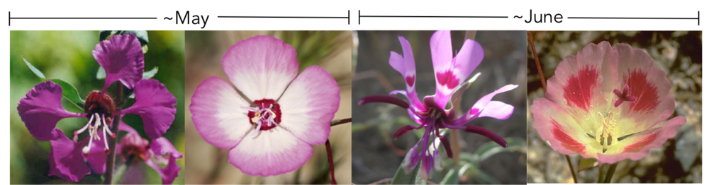 From left to right:  C. unguiculata ,  C. cylindrica ,  C. xantiana,   C. speciosa . The bars above the images represent the main flowering period for each species.
