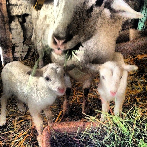 Twin baby lambs photo courtesy of Tablas Creek Vineyard