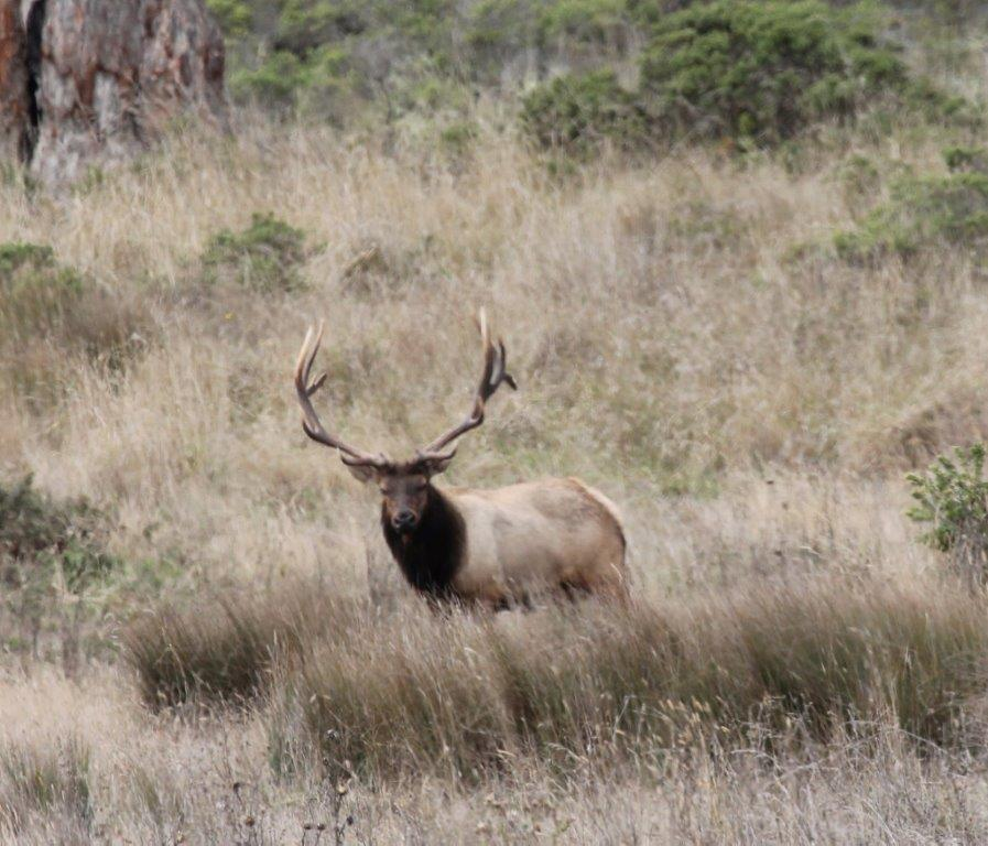 Photo of elk stag on the Estero trail in Pt. Reyes park.  Photo by Martin Pierce.