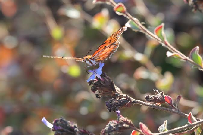 Gulf fritillary butterfly photo by Martin Pierce Custom Hardware