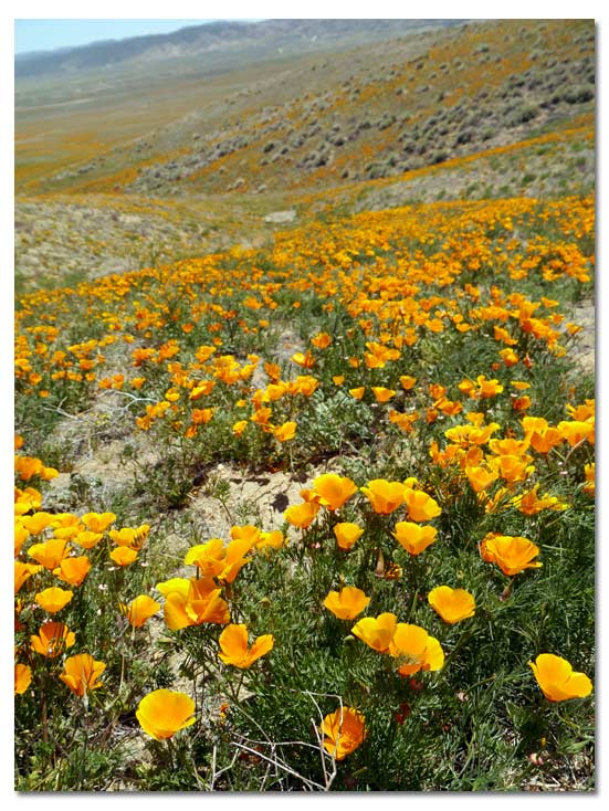 Antelope Valley Poppy Reserve courtesy of desertusa.com