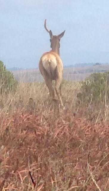 One horned elk at Pt Reyes CA photo by Martin Pierce Hardware Los Angeles, CA  90016