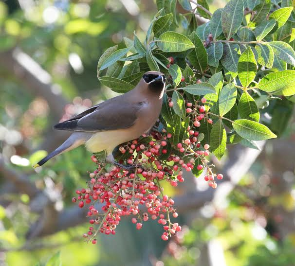 Wax wing enjoying a meal of pepper tree berries.  Photo  Martin Pierce Hardware  Los Angeles CA  90016