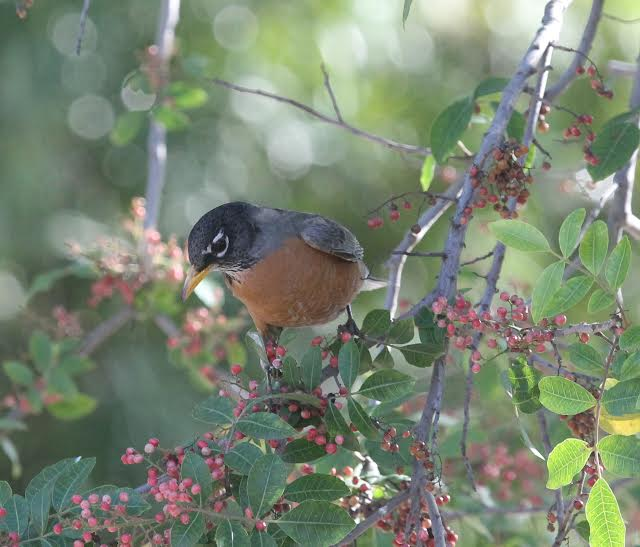 American Robin on pepper tree.  Photo by  Martin Pierce  Los Angeles CA  90016