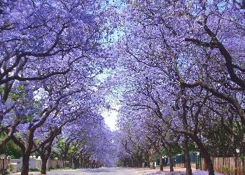 Jacaranda trees in bloom in Los Angeles photo  via