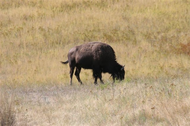 Bison national range in Montana. Photo Martin Pierce Hardware Los Angeles Ca 90016