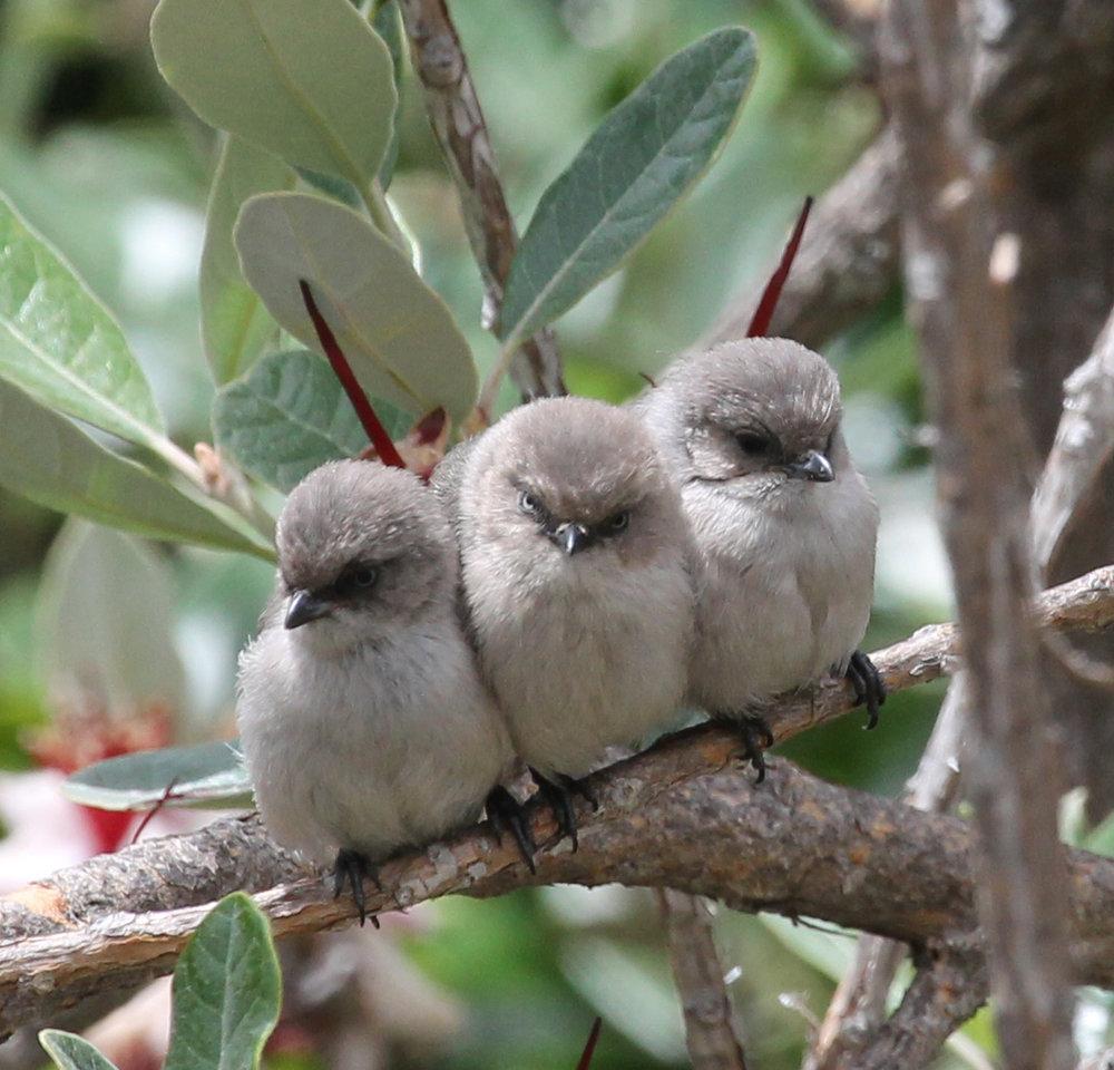 bushtit-fledglings