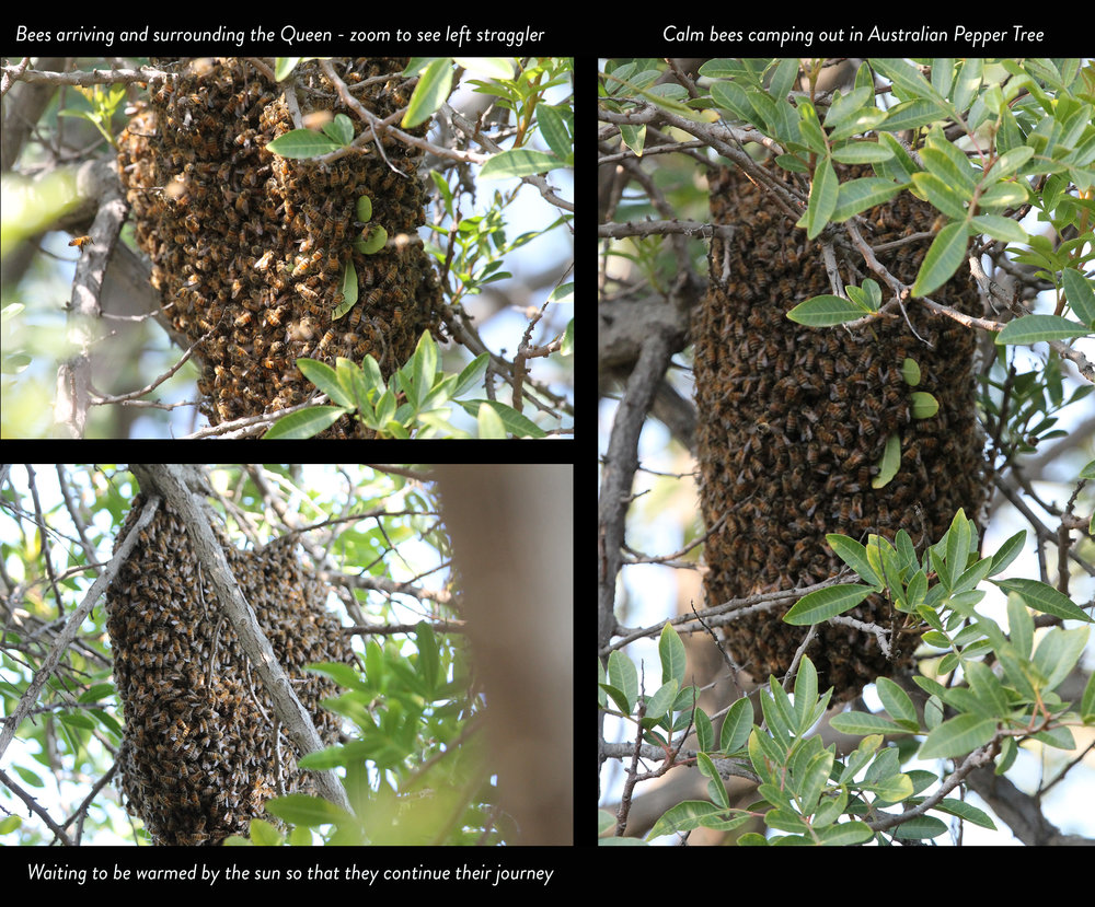 Colony of bees in the pepper tree .jpg