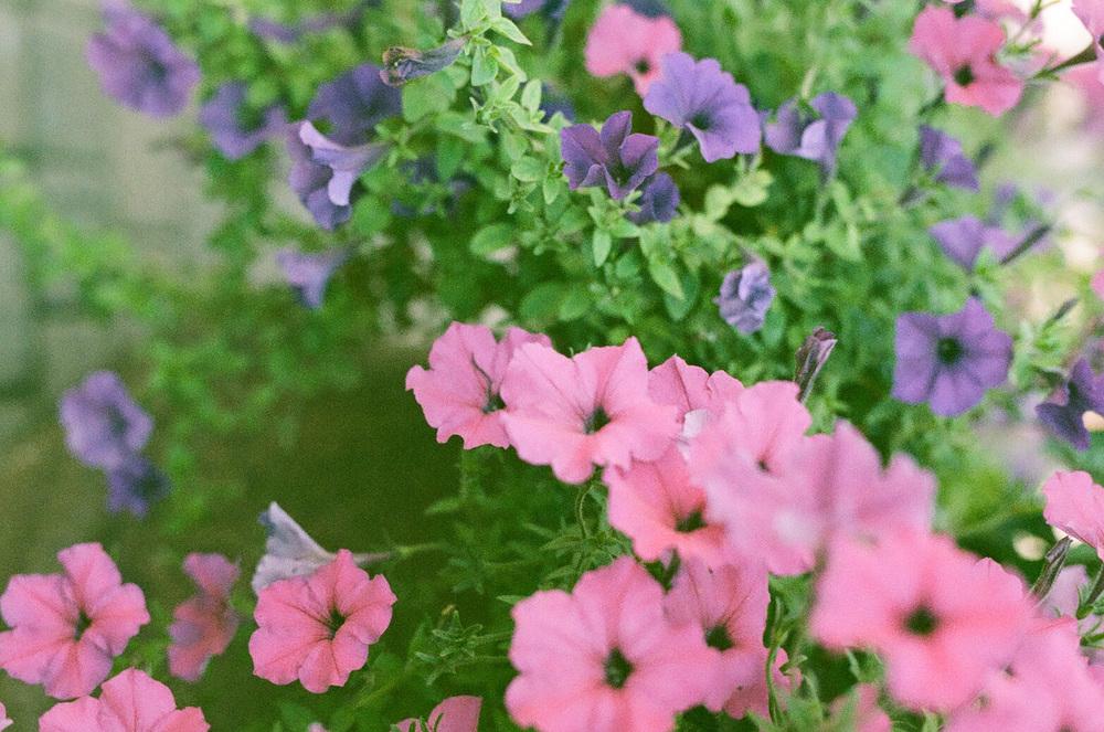 Seattle Film Works Photowalk - Bellbrook, Ohio - Pink and Purple Flowers