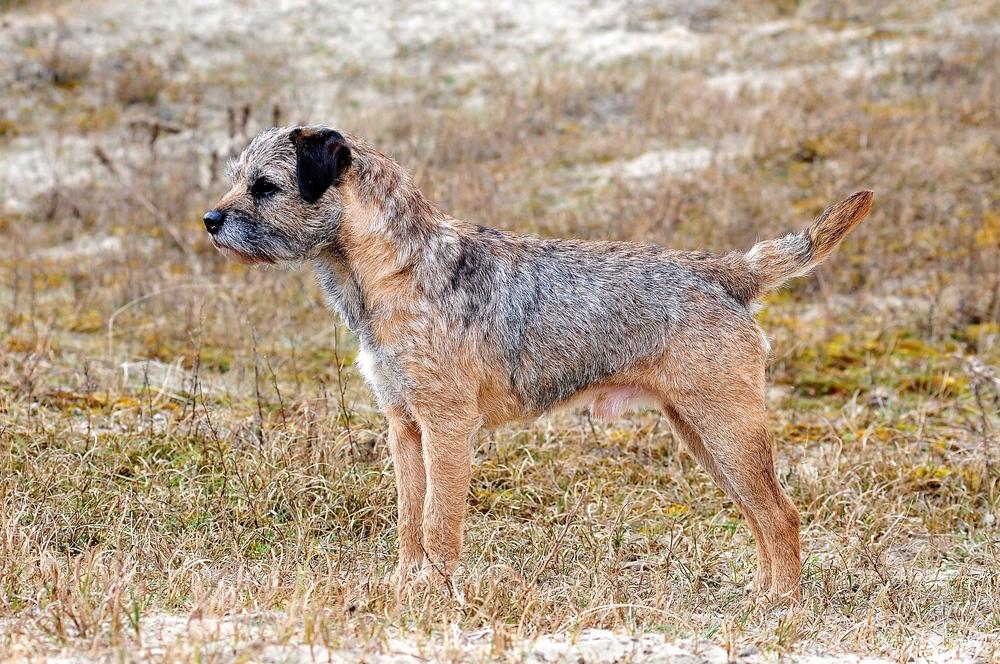 border terrier info british cooper