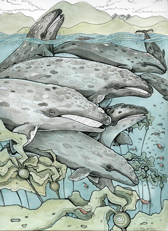 Grey Whales, Tofino BC
