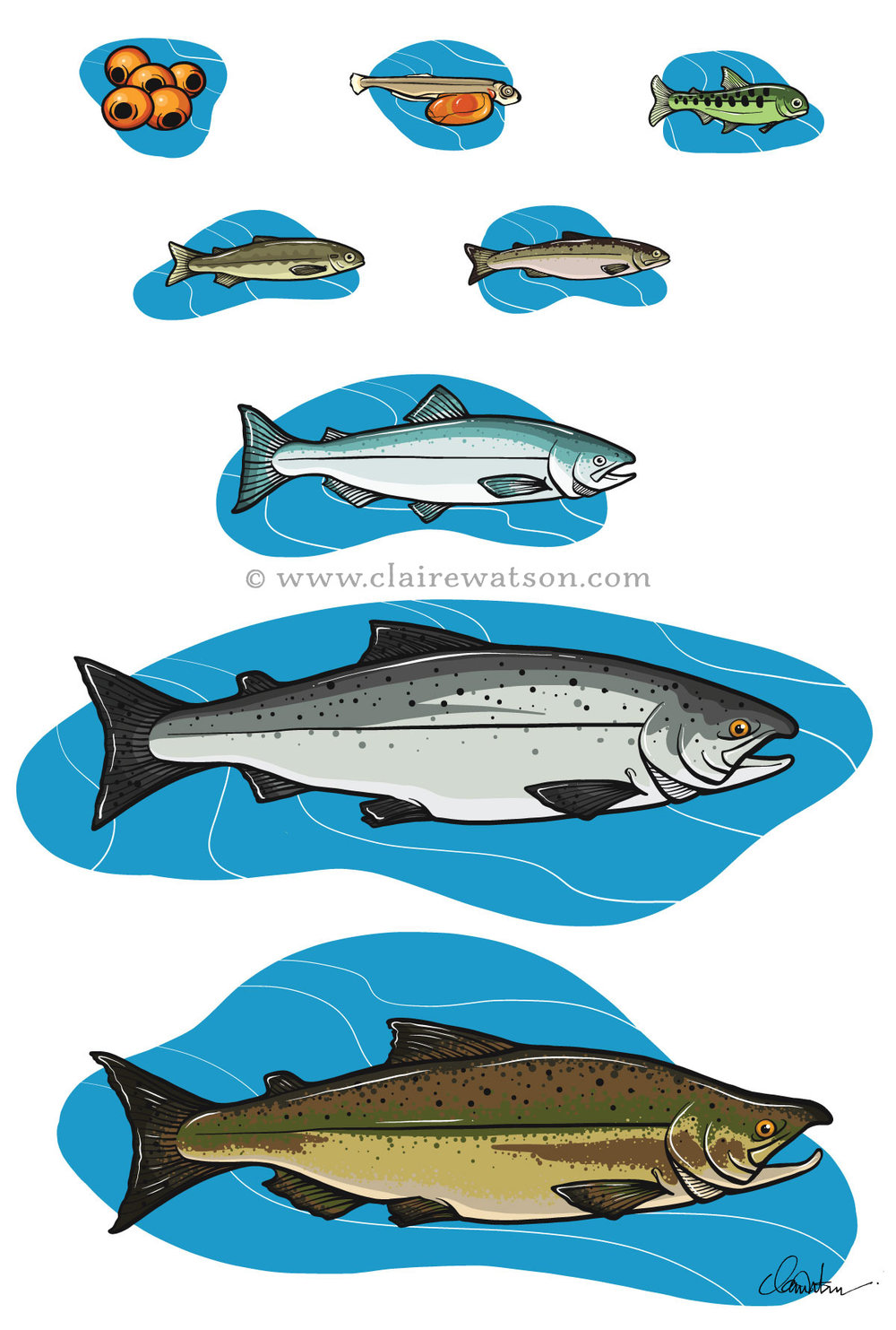 BC Ferries - Sea Forward - Salmon Lifecycle Illustrations