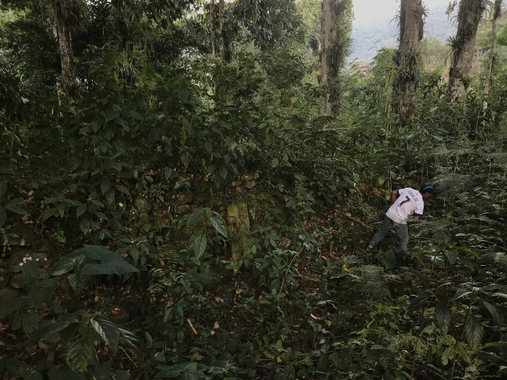 A Ministry of Culture employee clears the vegetation from the Hatun Wasi sector at Espiritu Pampa.JPG