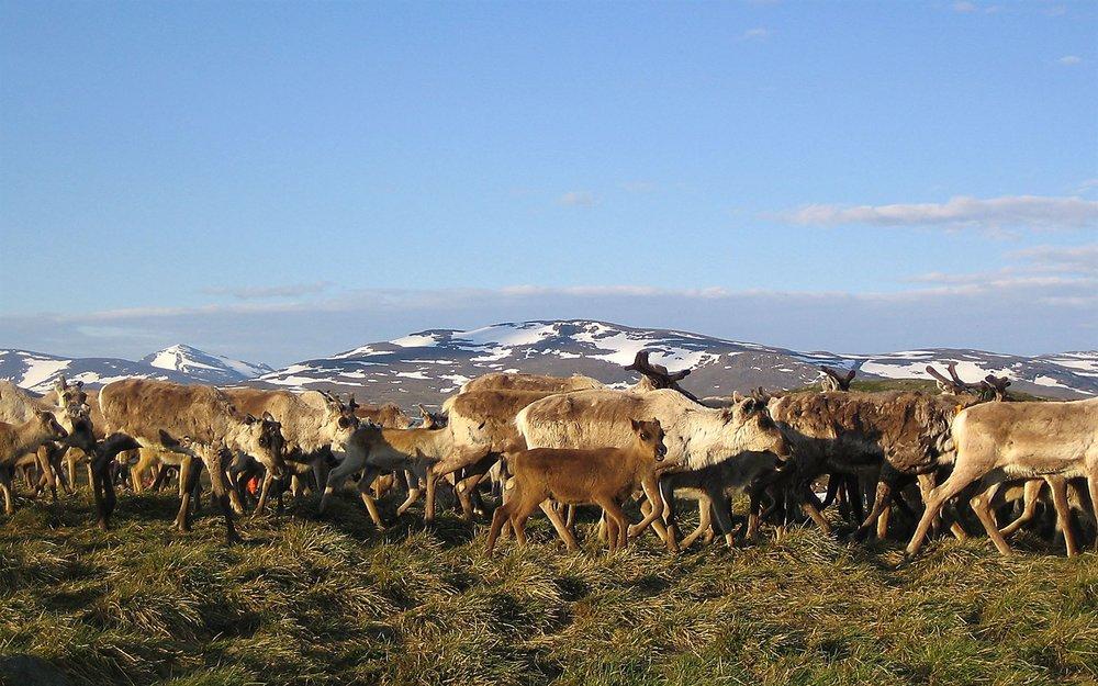 abisko-nationalpark-renar.jpg