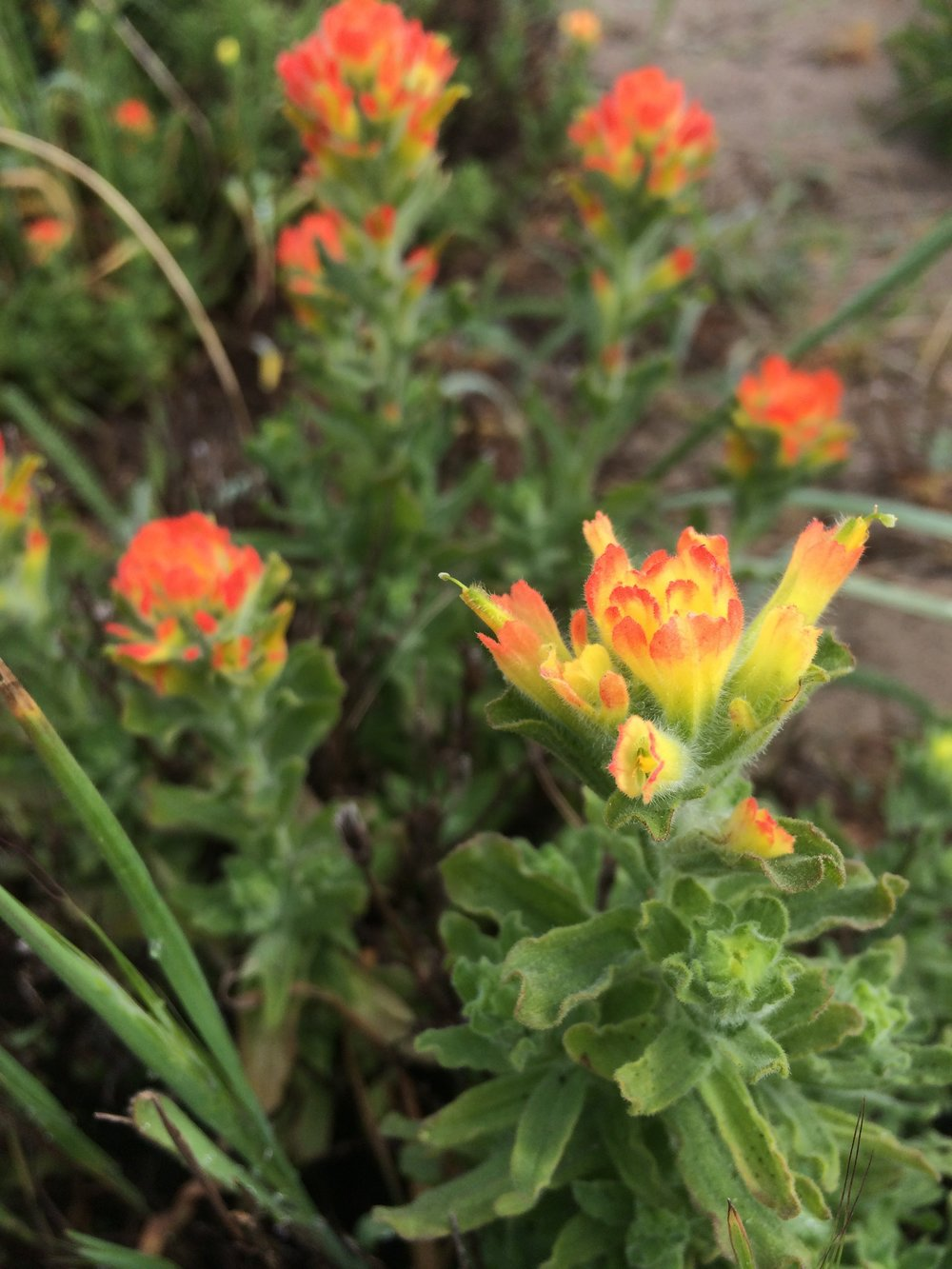 Castilleja wightii , a root hemiparasite, at my field site in the sand dunes at Bodega Marine Reserve