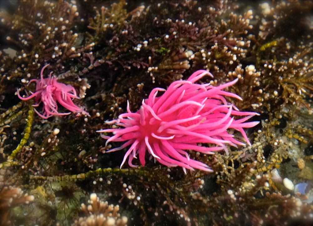 Okenia rosacea, the Hopkins Rose nudibranch, from a study done in 2016 by Armstrong, Tanner, and Stillman. Photo: R. Tanner, Avila Beach, 2016.