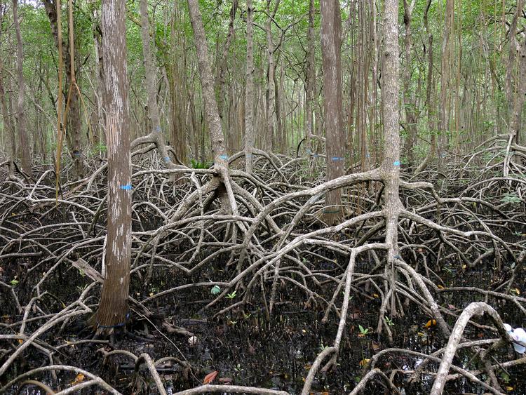 mangrove.jpeg