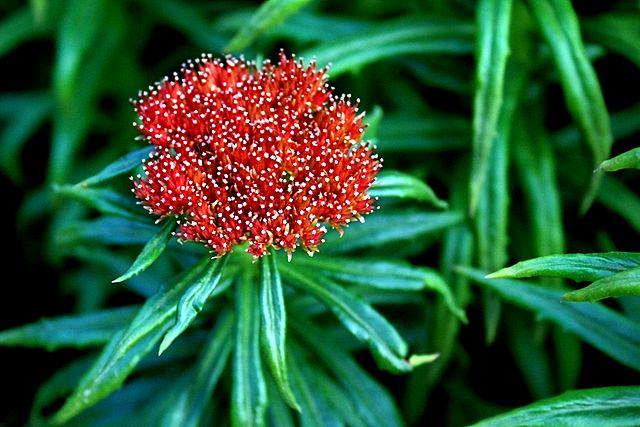640px-Rhodiola_linearifolia_5912.JPG