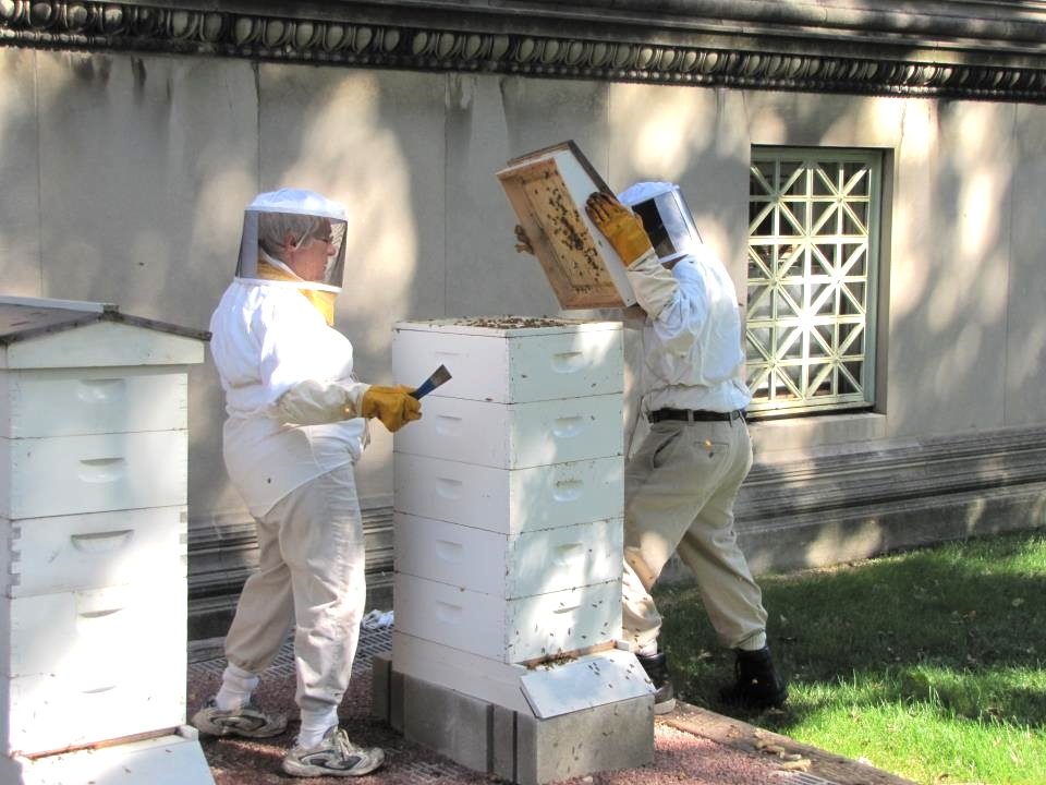 Working with volunteer beekeepers at the Museum of Science and Industry (2011-2014)