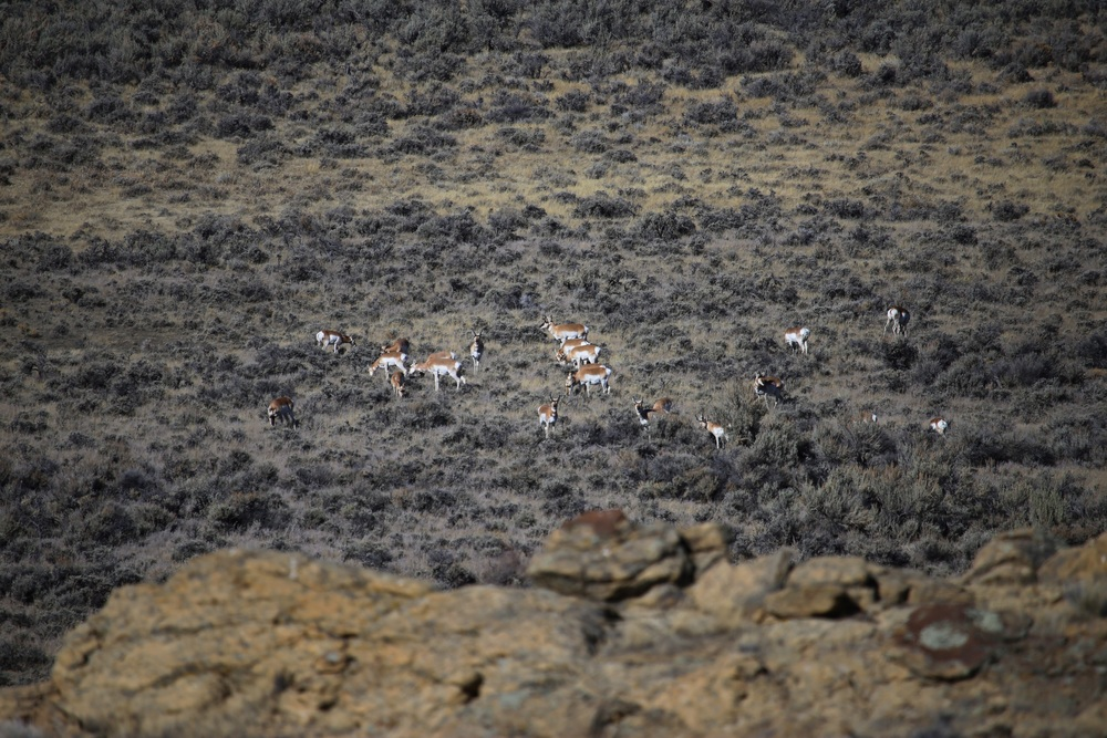 Not only were there Deer and Elk, but huge herds of Pronghorn Antelope
