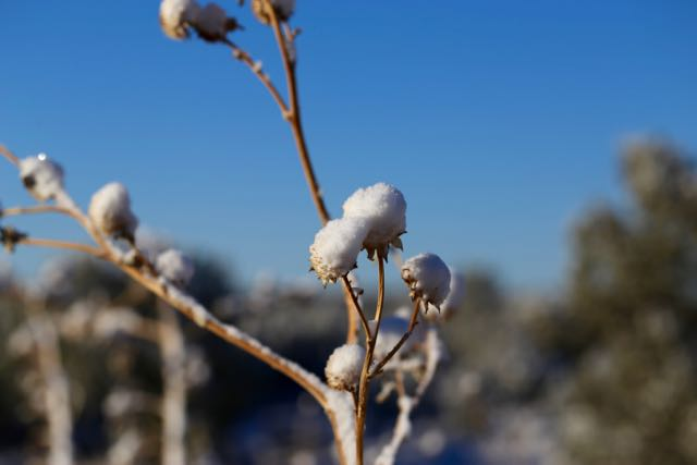Snow-Topped Thistle