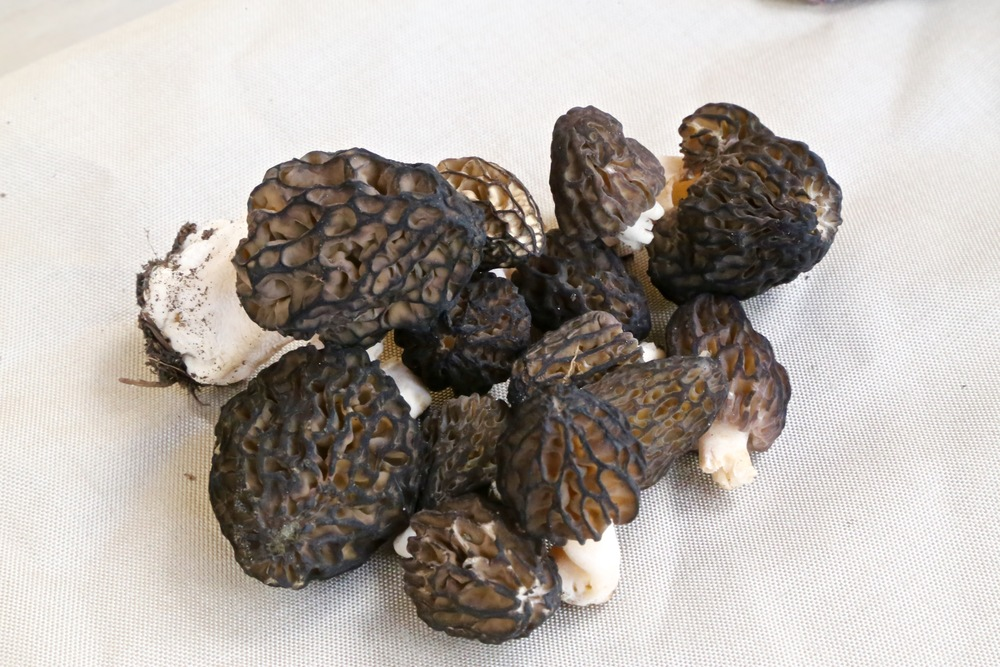 Morel Harvest