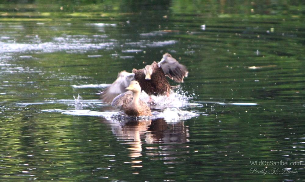Duck-approach.jpg