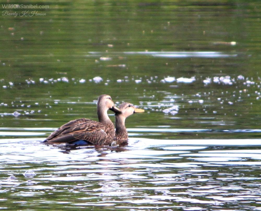 Duck-gotit.jpg