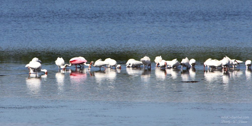 The Roseate Spoonbill stands out in the crowd!