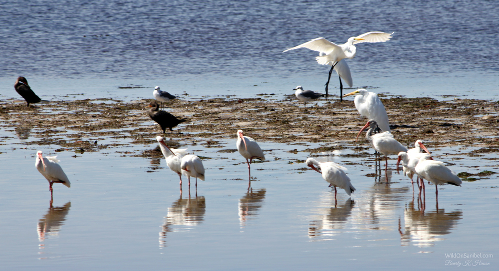 Great Egret, Cormorants, Ibis . . . oh my!
