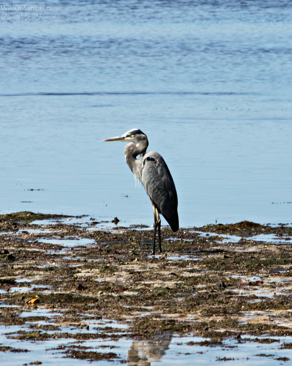 The Great Blue Heron is such a regal bird.