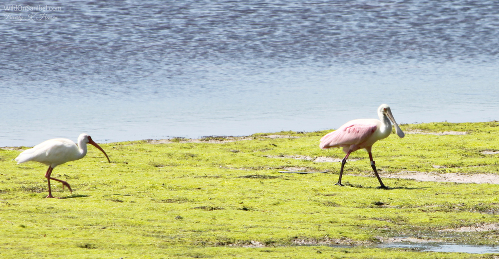 Another pic of the Roseate Spoonbill with an Ibis following.