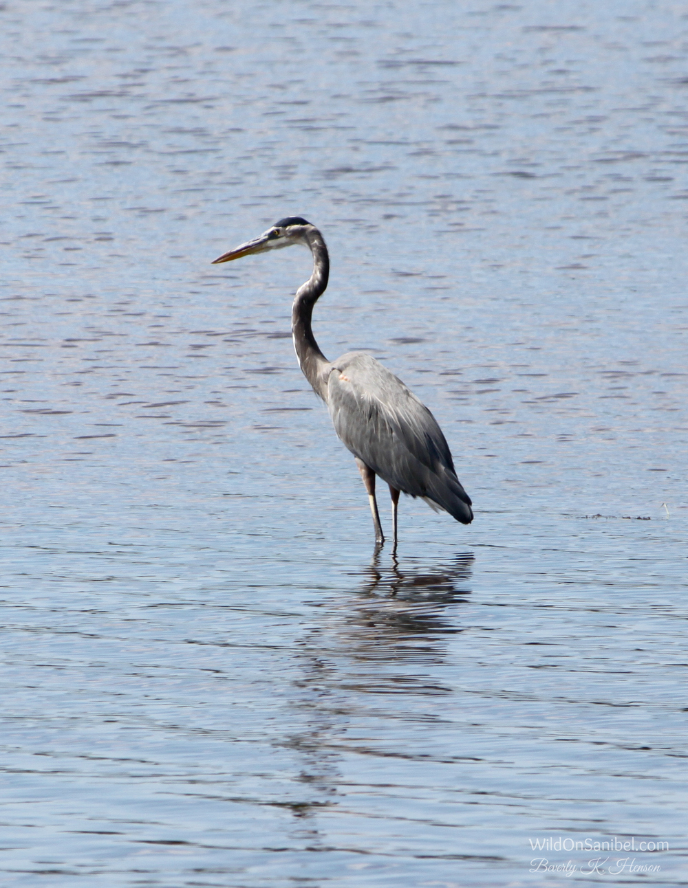 Another Great Blue Heron!