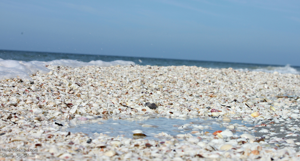 One of the things that Sanibel is famous for . . . shells galore!