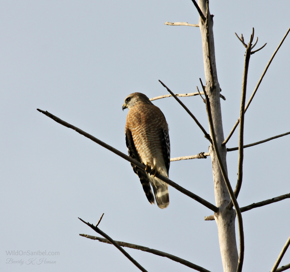 Red Shouldered Hawk in a tree across the street from our house.