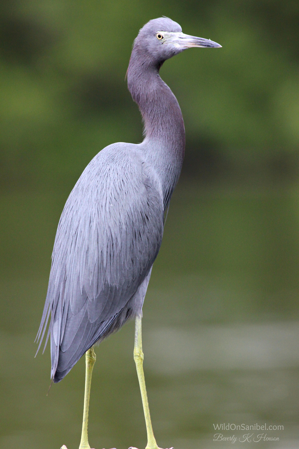 This Little Blue Heron posed while I took many pics!