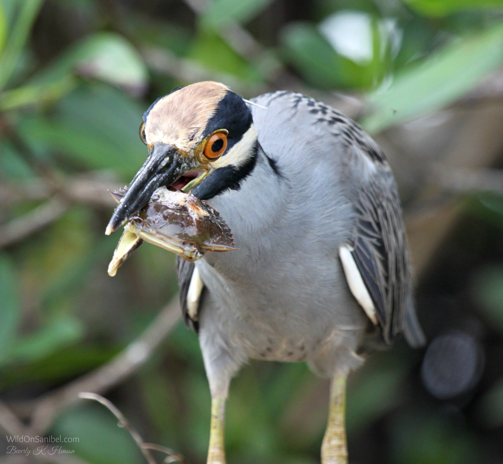 This Yellow Crowned Night Heron was working hard to get the shell cracked on this crab.